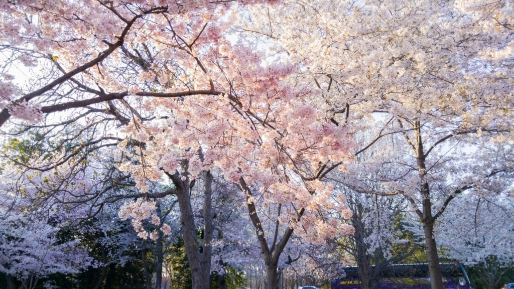 Blossoms in April, highlighting that April is counselling awareness month