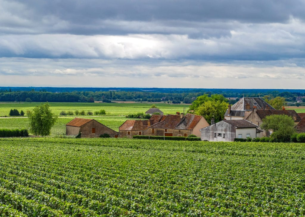 Lush green vineyards in the Beaujolais region of France where Gamay grapes are most prominently grown